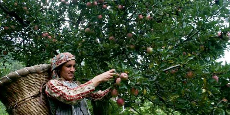 J&K: Horticulture continues to be torch-bearer of Kashmir's economy