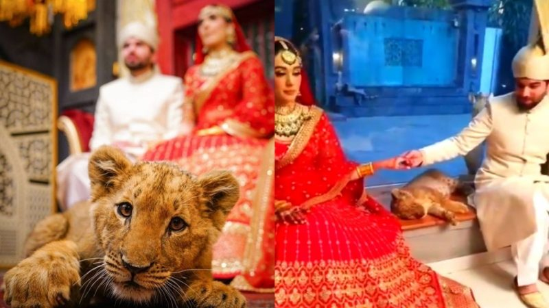 Animal rights activists slam Pakistan over use of sedated lion cub in bridal photoshoot